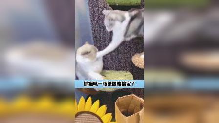 两只猫的日常抓捕行动,这样太简单了吧