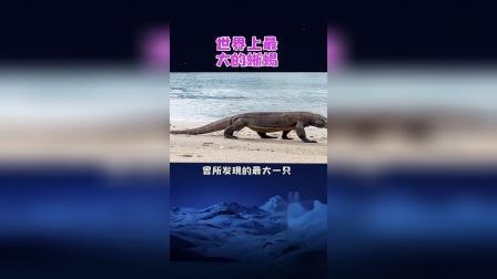 长3.13米的蜥蜴你们见过吗