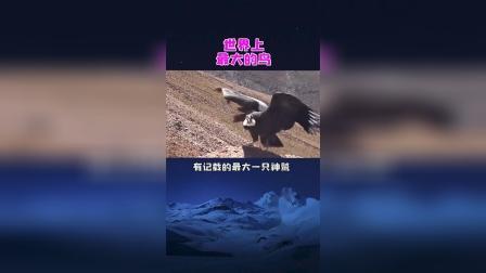 空中最大的鸟,安第斯神鹫