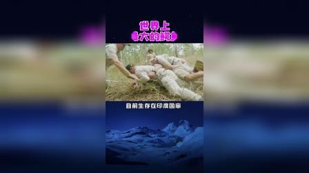 长达7米的鳄鱼,一口一个海龟