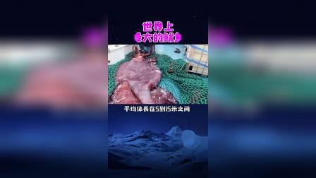 世界上最大的鱿鱼,一只能吃一年