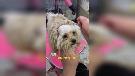 """主人带狗狗去修毛,由于狗狗的毛打结严重,结果就挺""""秃然""""的…"""