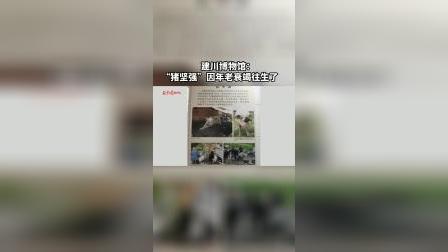 """建川博物馆:""""猪坚强""""因年老衰竭往生了"""