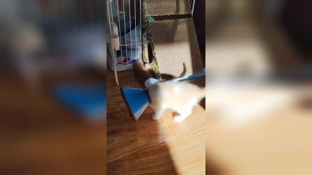 小奶猫第一次戴伊丽莎白圈
