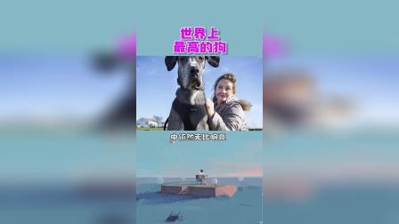 世界上最高的狗