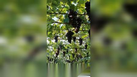 葡萄丰收后为啥价格低?