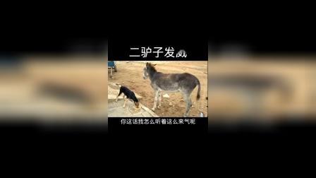 二驴子发威了