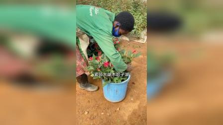 非洲卢旺达,考察最大的玫瑰基地鲜花出口欧洲