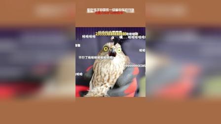 放飞国家一级重点保护动物猎隼(清风视频)