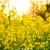 在记忆中盛开的油菜花